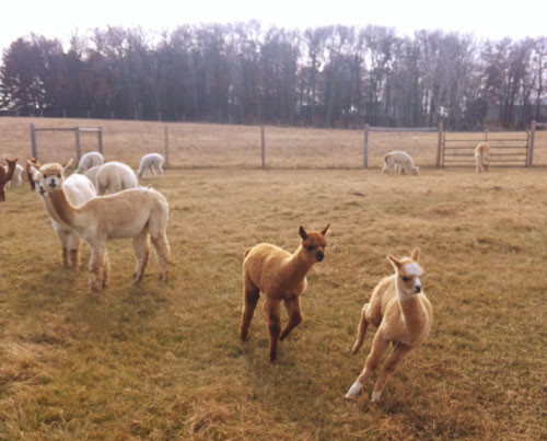 Ollie Running with Temperance, a Cria Pal