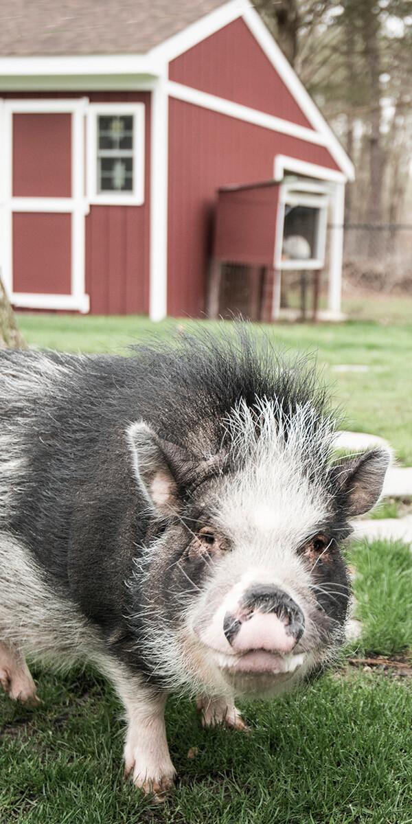 AmericanScenic.Pig